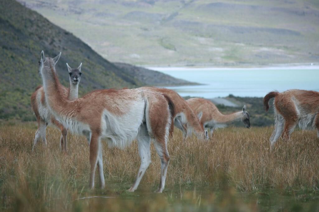 Reisetipps Patagonien: Guanakos