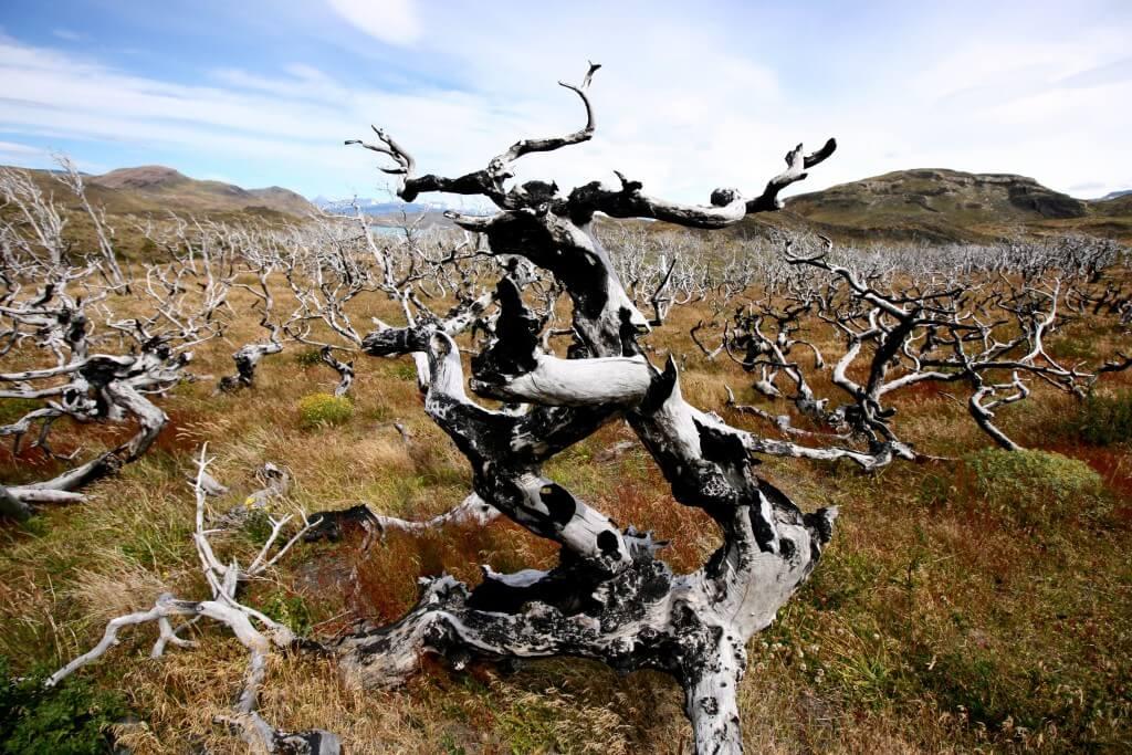 Reisetipps Patagonien: Verkohlte Baumleichen