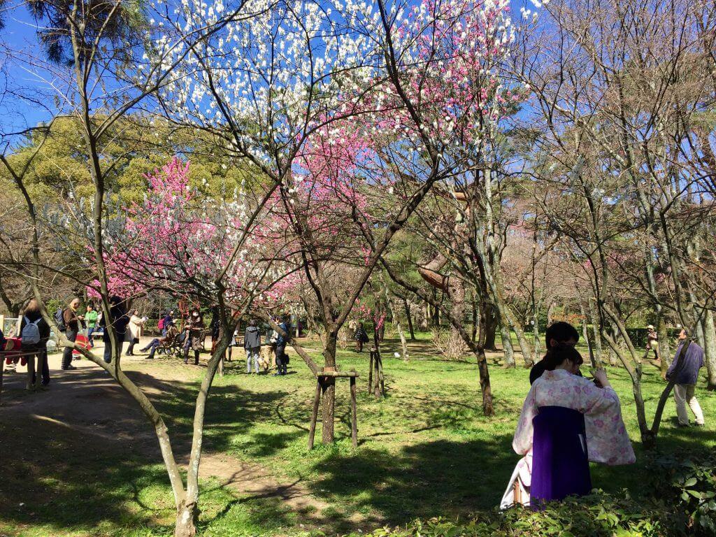 Reisetipps Kyoto: Kirschblüte im Gyoen-Park