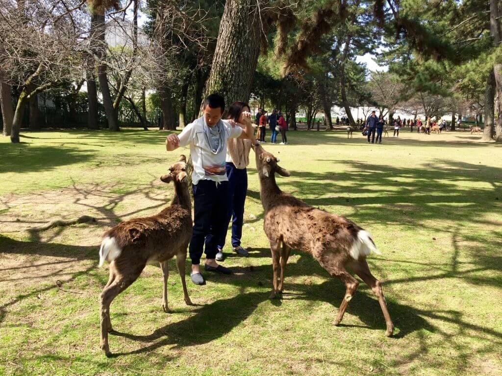 Reisetipps Kyoto: Rehe im Nara-Park